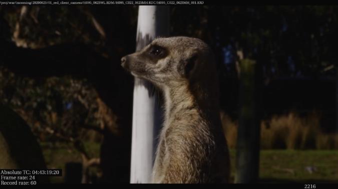 到动物园中寻找参考,学习狐獴的毛发细节
