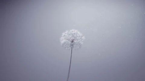 蒲公英——花瓣随风飘摇
